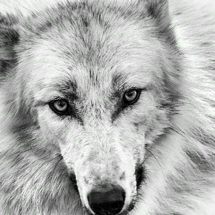 狼头刺青65626